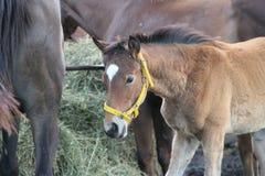 Juments et poulains de chevaux dans la campagne argentine Photographie stock libre de droits