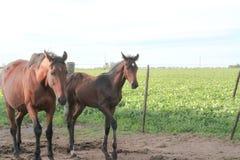 Juments et poulains de chevaux dans la campagne argentine Images stock