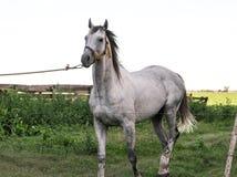 Juments et poulains de chevaux dans la campagne argentine Photographie stock