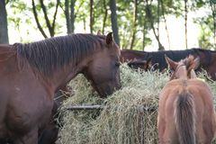 Juments et poulains de chevaux dans la campagne argentine Photos libres de droits
