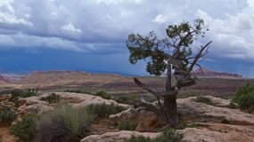 Juniper Tree Standing Alone in Arches National Park in Utah Royalty Free Stock Images