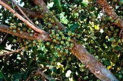 JumMaiz-Frucht Lizenzfreie Stockfotografie