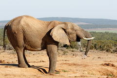 Jummy水的非洲人布什大象 库存图片