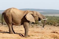 Jummy vatten - afrikanBush elefant Fotografering för Bildbyråer
