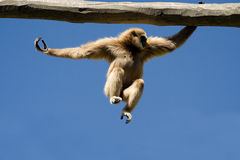 Jump. Monkey in action over bright blue sky Royalty Free Stock Photography