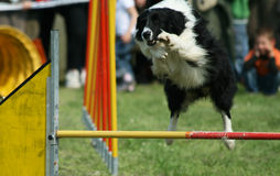 Jump of border collie Royalty Free Stock Photography