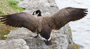 The jump of the Canada goose to the rock shore Stock Photo