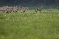 Jump deer in a meadow Royalty Free Stock Photo