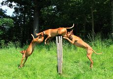 Jump dog. Phase dog jump over an obstacle Stock Photo