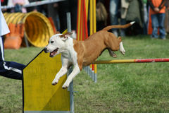 Jump and Dog agility Royalty Free Stock Photos
