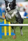 Jump. Dogs from around the world (mainly England, but also other european countries as well Japan and Mexico) demonstrate their agility at Rockingham castle Stock Photos