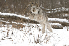 Jump frog. A Canadian lynx leaping in air to pounce on Snowshoe Hare in the snow. Lynx is in full air leaping over brush to get to prey Royalty Free Stock Images
