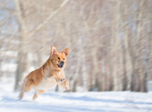Jump of golden retriever dog with motion blur Stock Image