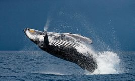 Jump humpback whale. Madagascar. The water area of the island of St. Mary Royalty Free Stock Photos