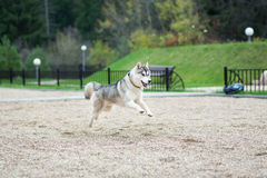 Jump of husky. Young husky jump towards its owner royalty free stock photos