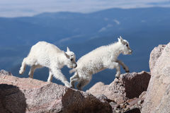 Jump for Joy. Two young mountain goat kids were frolicking on the top of Mt. Evans and practicing their jumping skills Royalty Free Stock Photography