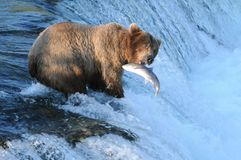 Jump Into My Mouth. A brown bear waiting for a salmon to land in his mouth Royalty Free Stock Images