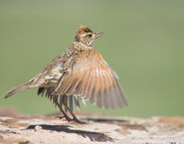 The jump. A Rufous-naped Lark jumps into the air with spread wings and shadow on rock Stock Image