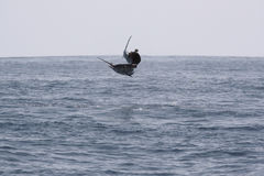 Jump sailfish while deep sea sport ocean fishing. Pacific ocean, Stock Image