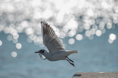 Jump Of Seagull. In The Fly  frim the cost Stock Photography