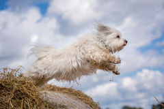 Jump. Small white dog jumps from a straw bale to the next stock photos