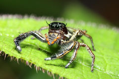 Jump spider Royalty Free Stock Images