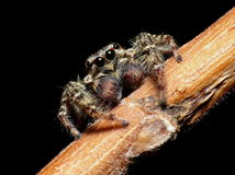 Jump spider Stock Photo