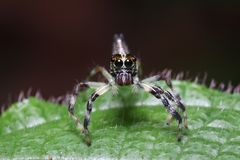 Jump Spider in action Royalty Free Stock Photos