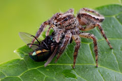 A jump Spider Stock Images