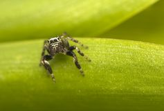 Jump spider - Evarcha Stock Images