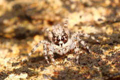 Jump spider Royalty Free Stock Image