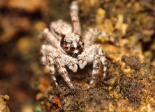 Jump spider Stock Images