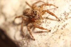Jump spider Royalty Free Stock Photos