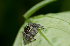 Jump spider on green leaf Stock Image