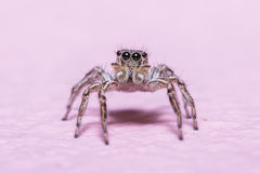 Jump Spider Royalty Free Stock Photography