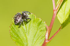 Jump Spider Royalty Free Stock Photos