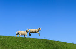 Jump!. Two lambs, one jumping, on a green and with a clear blue sky stock photography