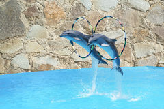 Jump the two large  bottlenose Dolphin & x28;lat. Tursiops truncatus& x29; through the Hoop over the water on stone wall. Jump the two large bottlenose Stock Photo
