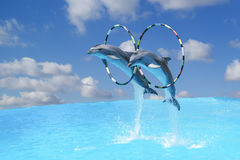 Jump the two large bottlenose dolphins & x28;lat. Tursiops truncatus& x29; through the Hoop over the water on the backgro Stock Photos