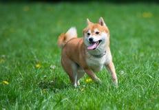 Jumped dog shiba inu Stock Image