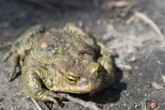 Jumped out to bask in the sunlight of the green frog, the toad. Her eyes are open Stock Photo