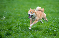 Jumped  shiba inu dog. Jumped dog shiba inu on grass Royalty Free Stock Image