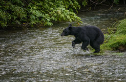 Jumper. A black bear jumps into a creek to catch a salmon.  Tongass national forest, Alaska Royalty Free Stock Image