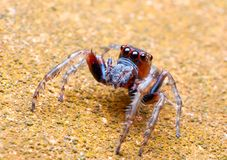 Jumper Spider Royalty Free Stock Images