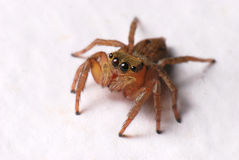 Jumper Spider stock images