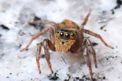 Jumper Spider Stock Photography