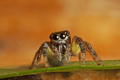 Jumper spider. A beautiful cute jumping spider with details front view Royalty Free Stock Photo