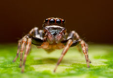 Jumper spider Stock Photos