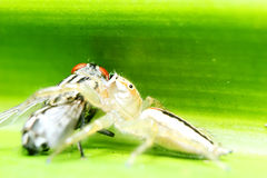 Jumper spider with fly Stock Photography