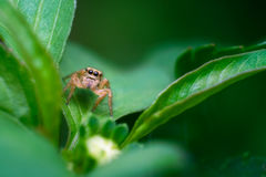 Jumper spider on green leaf Stock Photos
